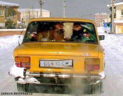 Co dělá ta kráva v autě?